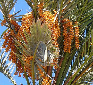 Dates And Date Palm Cultivation Facts And Details