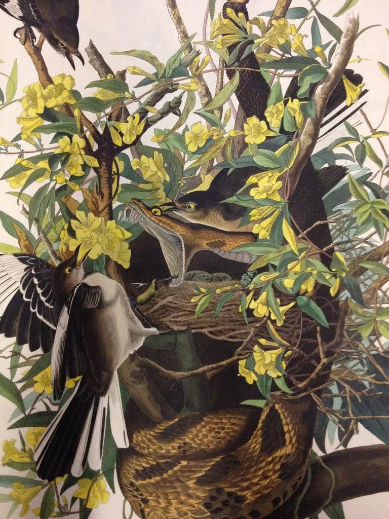 audubon rattlesnake mockingbirds