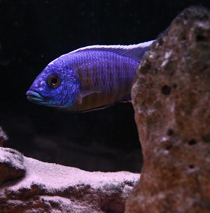 EMPEROR CICHLID (Boulengerochromis microlepis)