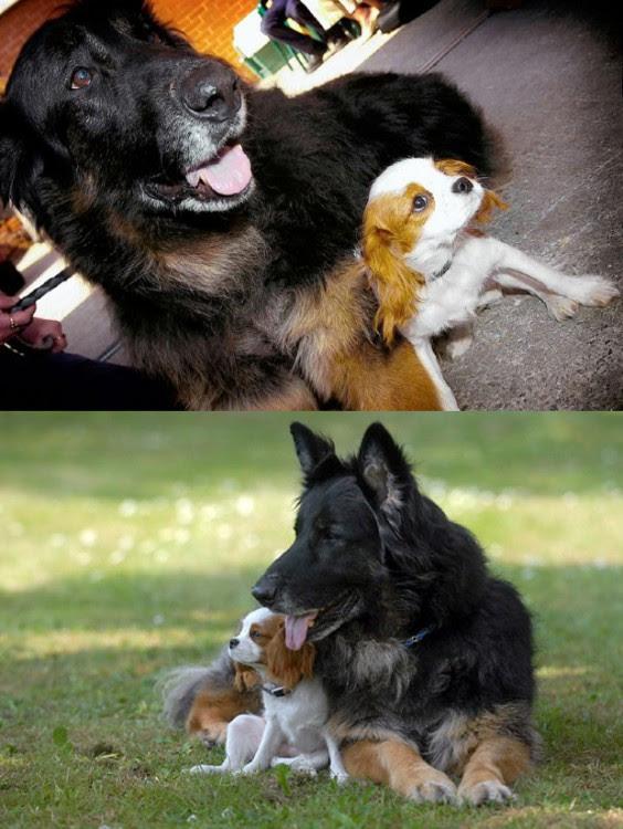 perro se convierte en lazarillo de su mejor amigo otro perro cruza de espaniel