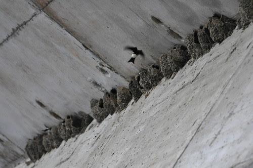 Schwalbennester an einer Brücke