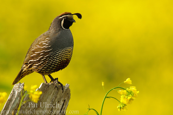 Photograph of a California quail set against a backdrop of golden wildflowers