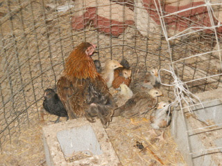 Third Batch of Chicks Hatched in 2014