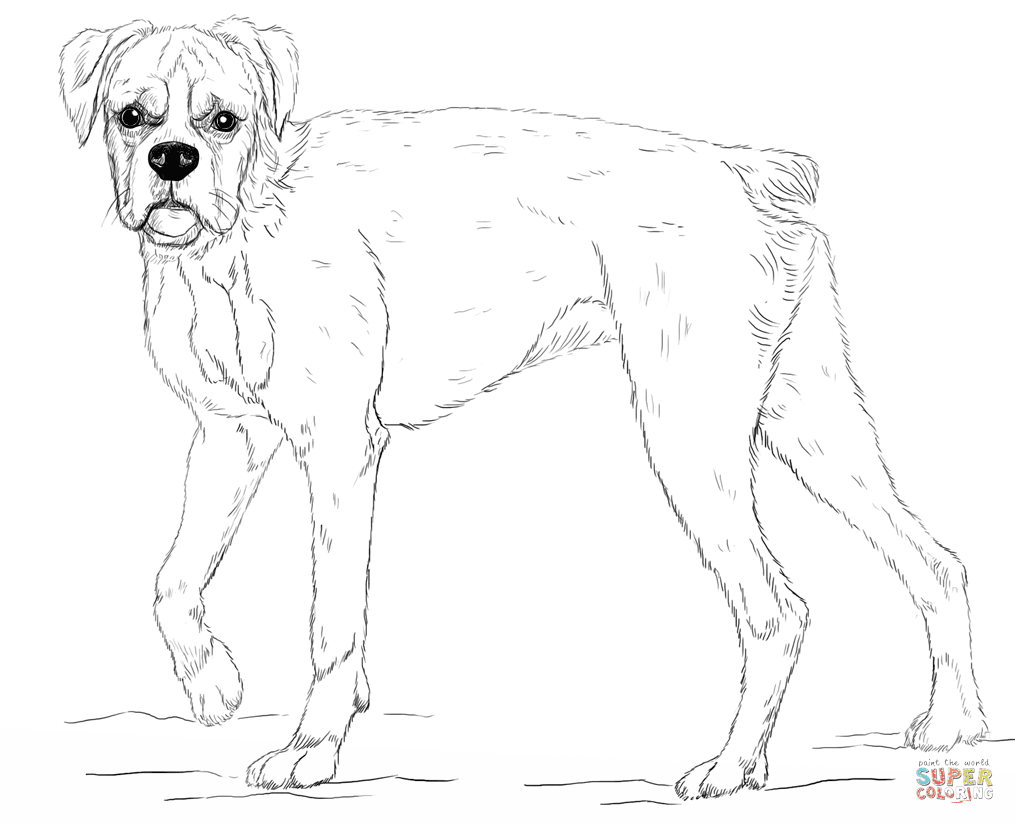 junger Boxerhund · Boxer from Hunde