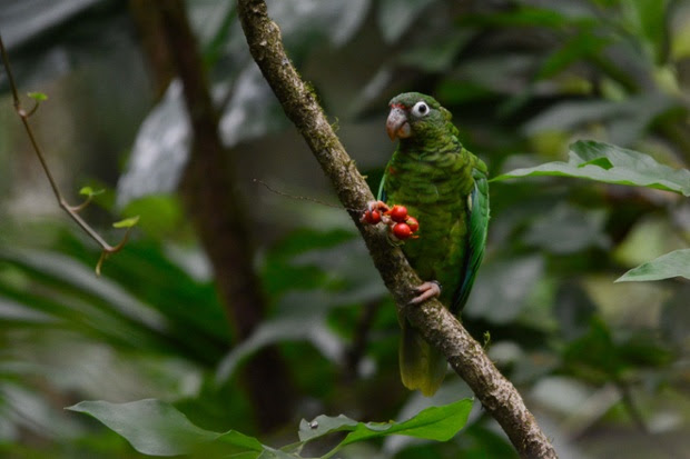 A breeding endangered Puerto Rican parrot near the Rio Abajo Nature Preserve, in Puerto Rico. The parrot  who is wearing a tag is one of a pair of birds that had been reintroduced into the wild by scientists. Officials say that two endangered Puerto Rican parrots where born from the introduced breeding pair and are the first ones born in the wild outside a national forest, in a natural nest, for the first time in 144 years.
