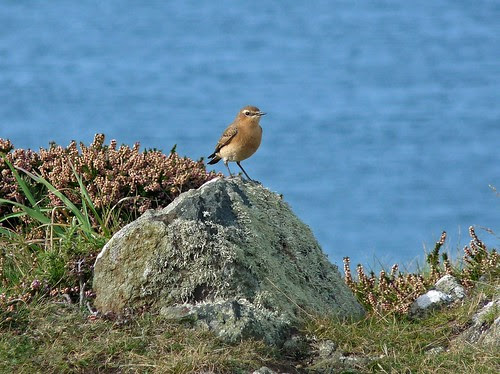 11448 - Wheatear at Strumble Head