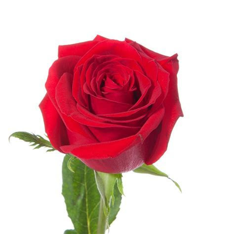 Four Dozen Red Roses   Flower Muse
