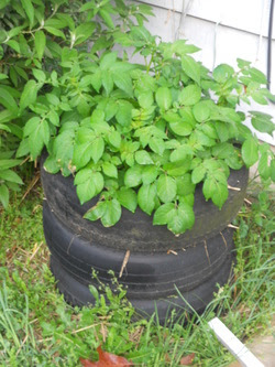 potatoes in tire stack How To Grow Potatoes In a Tire Stack