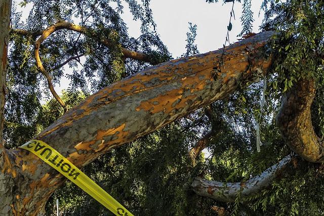 Furman Park tree