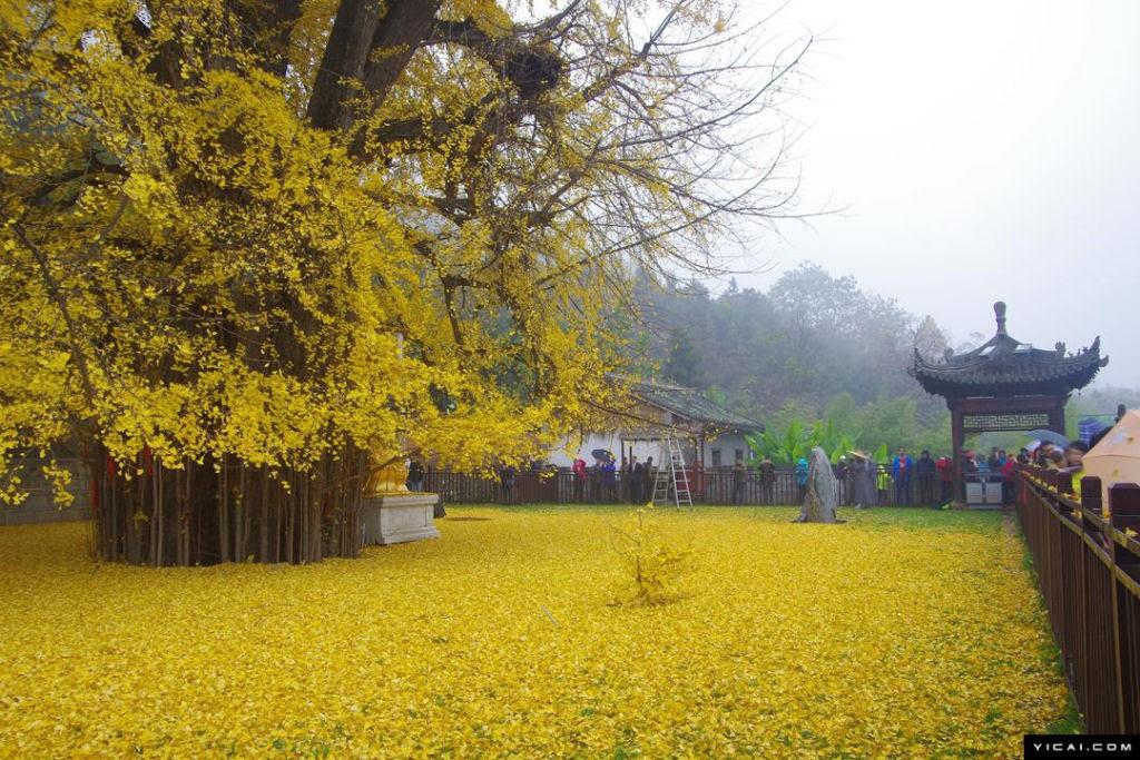 ginkgo_biloba_Templo_Budista_Gu_Guanyin_06