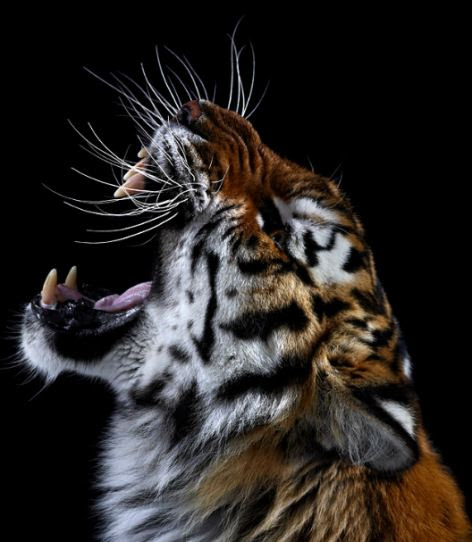 Hollywood Animals Trained Panthers For Film Tv Events: Beautiful World: Wildlife Close Up Photos