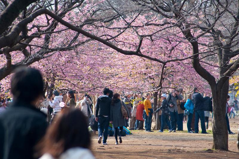 Yoyogi park blossom by photoeverywhere.co.uk