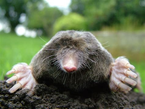 File:Close up of mole