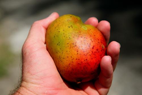 its mango season