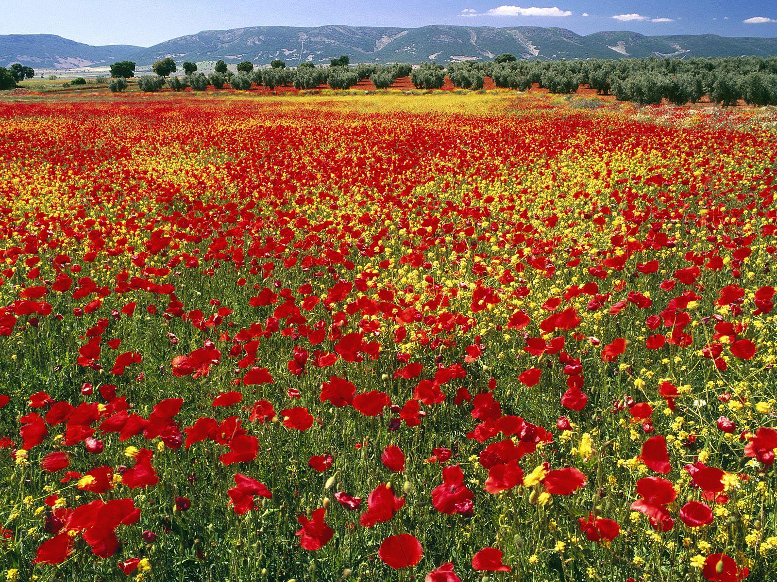 Endless Poppies, Spain[1600x1200]