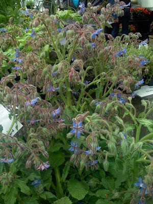 Hairy stems and blue flowers on a huge clump of borage plants