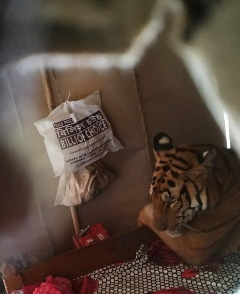 Un hombre casi colapsa al encontrar a una tigresa en su cama – Ella sólo huía del peligro