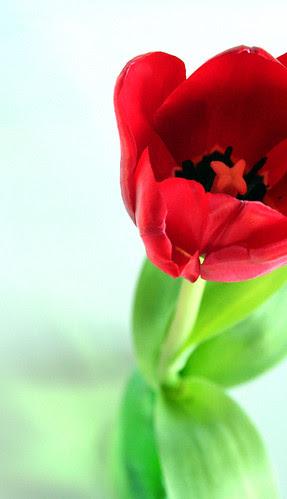 valentine tulip