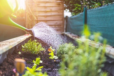 Watering fresh vegetables and herbs on fruitful soil in the own garden, raised bed