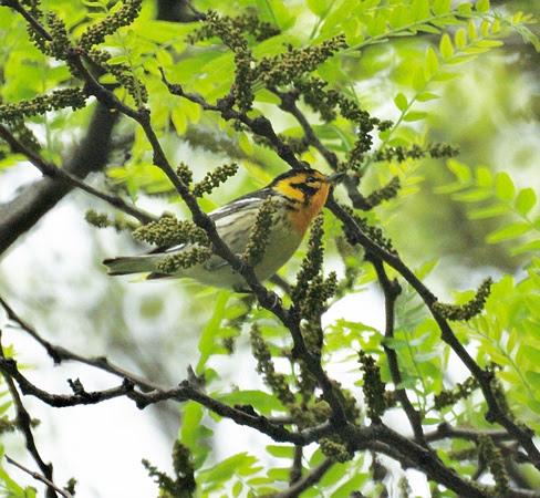 Ed Gaillard: recent &emdash; Blackburnian Warbler, Central Park