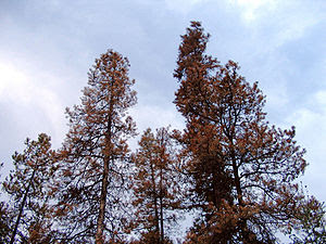 Mountain pine beetles killed these Lodgepole P...