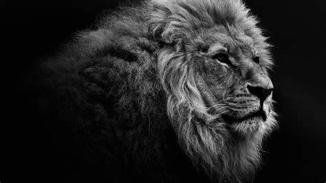 lion portrait bw desktop wallpaper  high