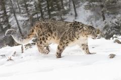 День снежного барса на Алтае