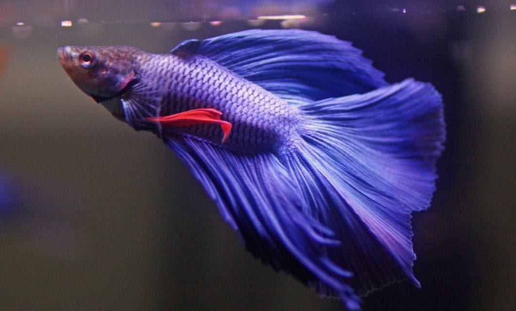 Daftar Harga Ikan Cupang Di Pasaran Terbaru 2018 Islaw Mix