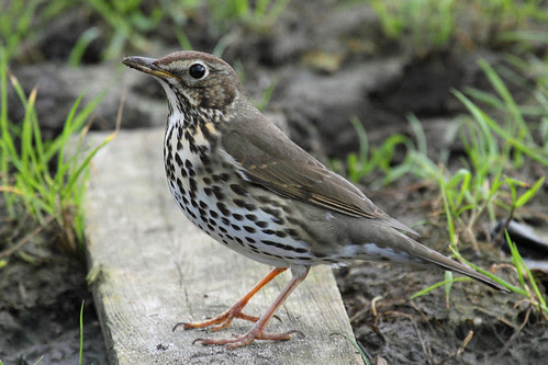 Image result for Turdidae