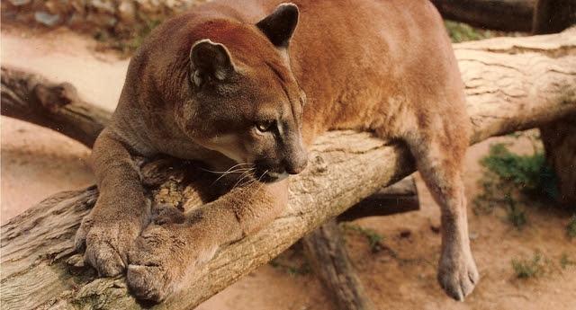 """Onça-parda (Puma concolor capricornensis), espécie classificada como """"Vulnerável"""" na lista de animais ameaçados de extinção  (Foto: Marco A. Freitas)"""