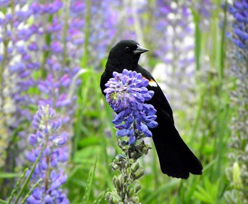 Red-Winged Blackbird I