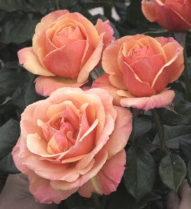 Anna's Promise Rose - Weeks Roses