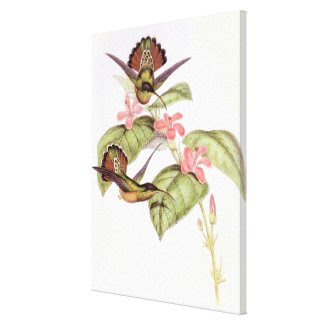 Goulds' Hummingbirds Stretched Print Stretched Canvas Prints