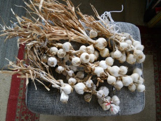 Garlic 2012 Last Year's Garlic