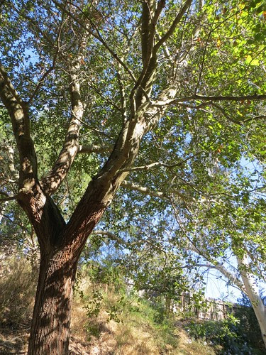 Mary's favorite plant - the big live oak