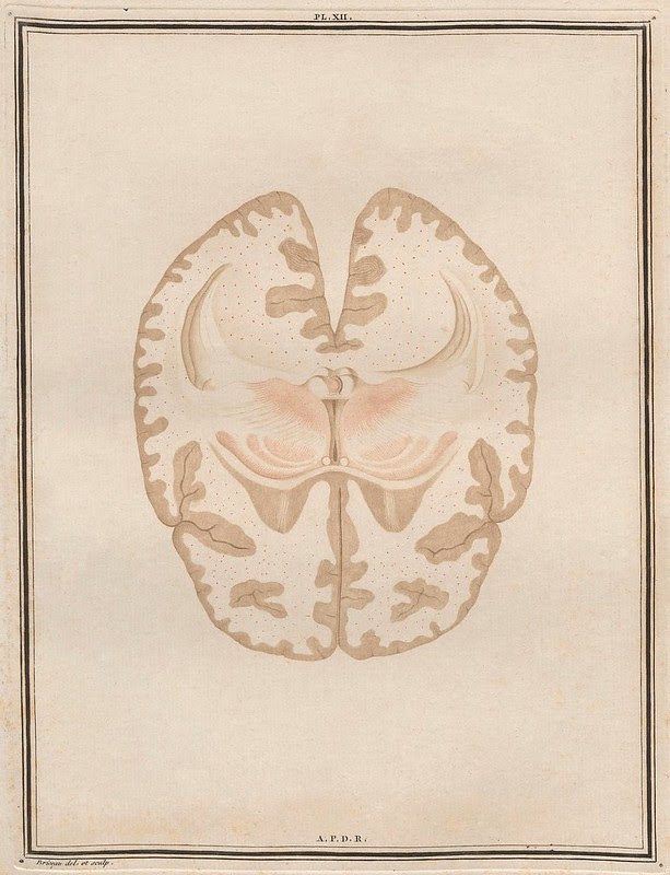 neuroanatomical cross section - hand-coloured engraving