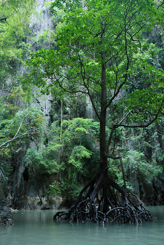Mangroves in the Lagoon