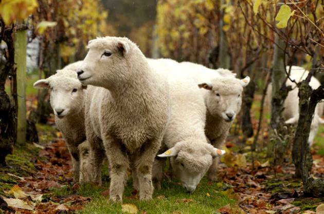 Nyetimber-sheep-630x417