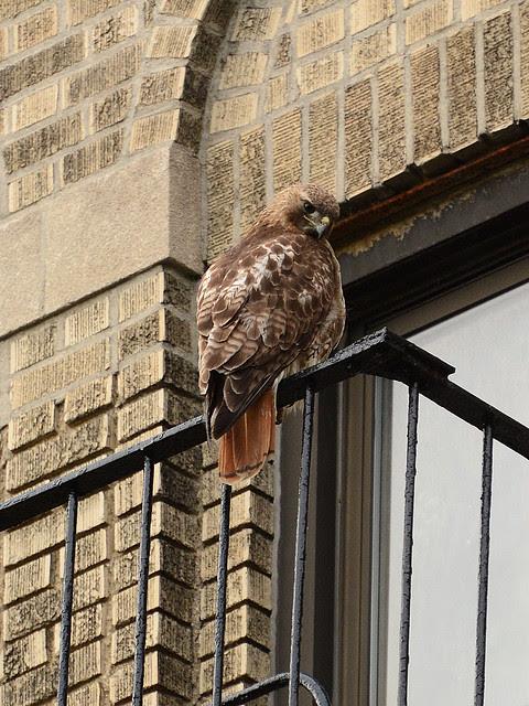 Washington Heights Mother Hawk