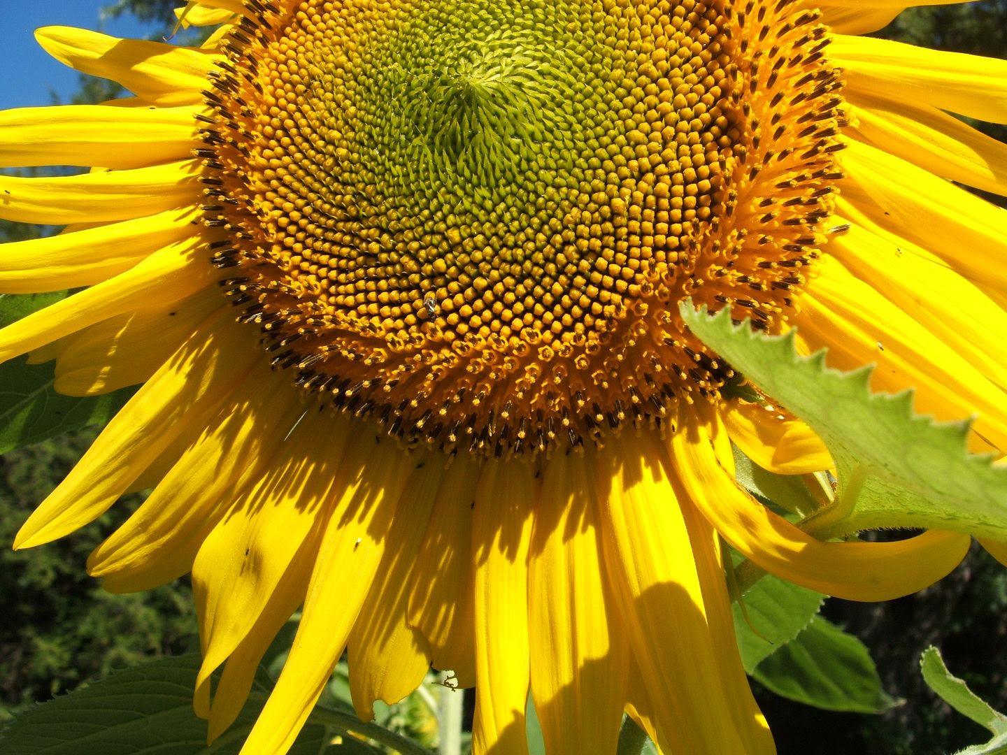 Giant Gray Stripe Sunflower by Angie Ouellette-Tower for godsgrowinggarden.com photo 014_zps4c72c77f.jpg