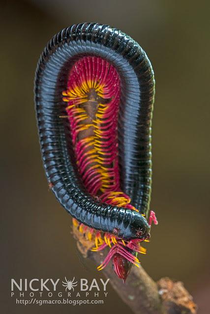 Millipede - DSC_0135