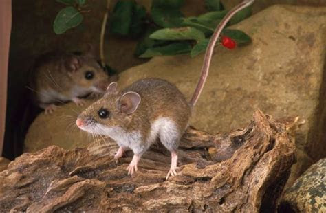 deer mouse   Natural History