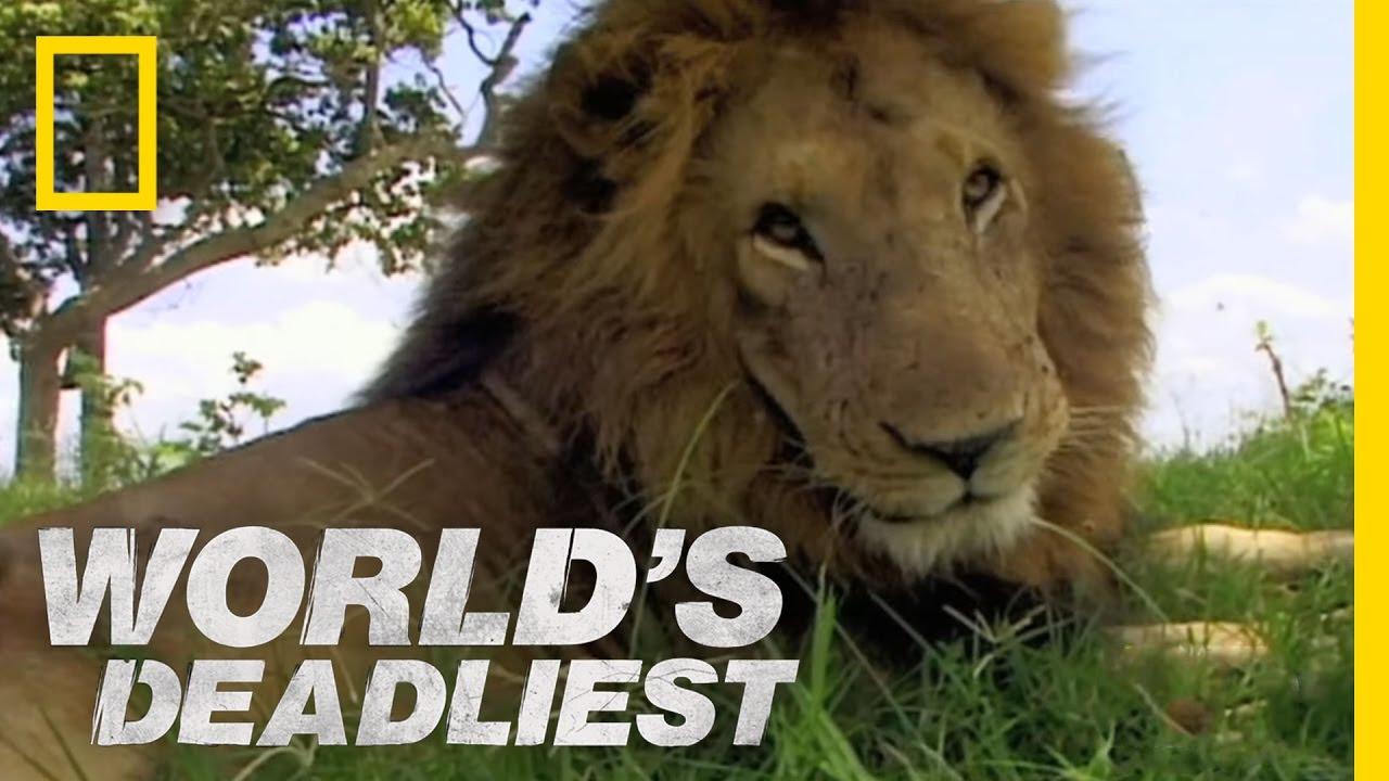 Μονομαχία λιονταριών