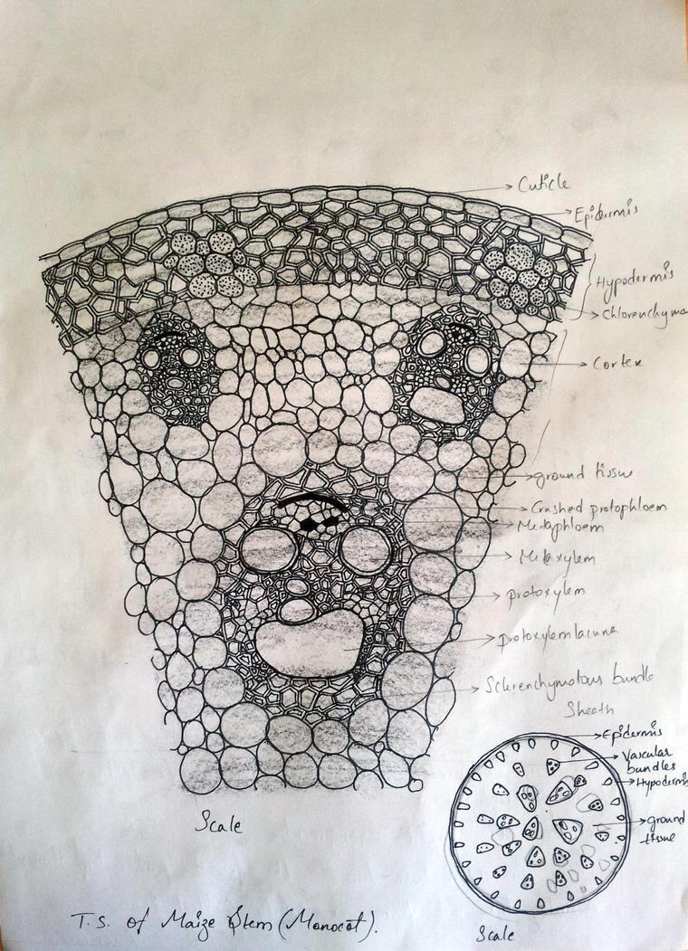 T.S. of Docot stem (Sunflower) by kot0005 on DeviantArt