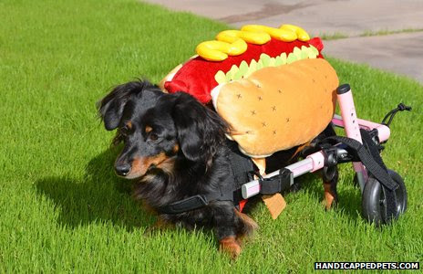 Dachshund dressed as hot dog