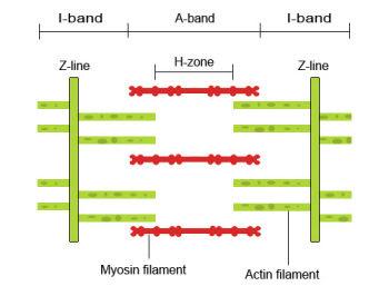 sliding_filament_1a