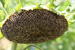 sunflower 040
