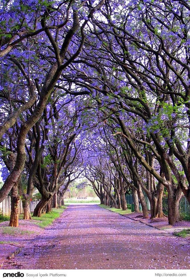 19. Güney Afrika'da yetişen Jakaranda ağacının çiçekleri harika görünüyor.
