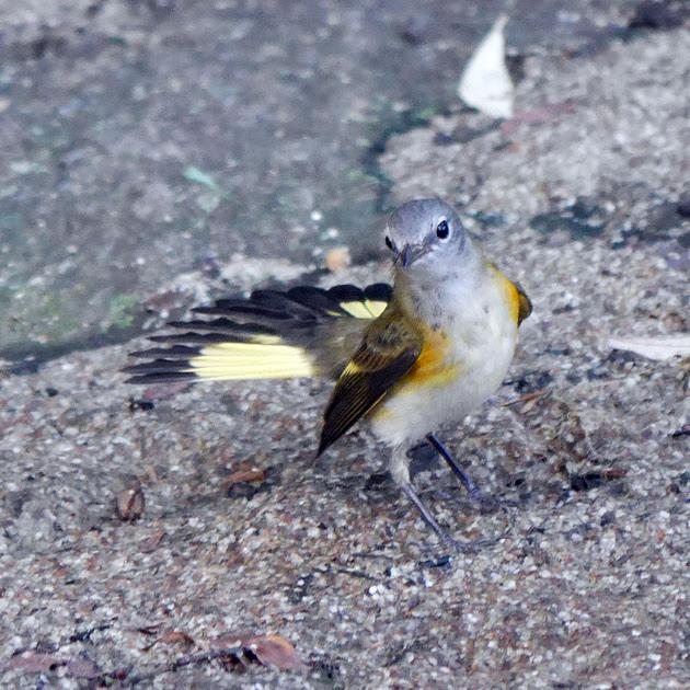 Ed Gaillard: birds &emdash; Proud young Redstart