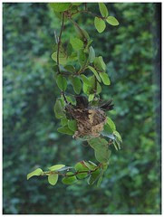 humming bird nest by zoso_86